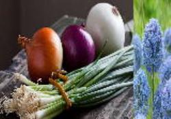 دانلود پاورپوینت انگلیسی با عنوان پیاز ( Alliums - Onions )
